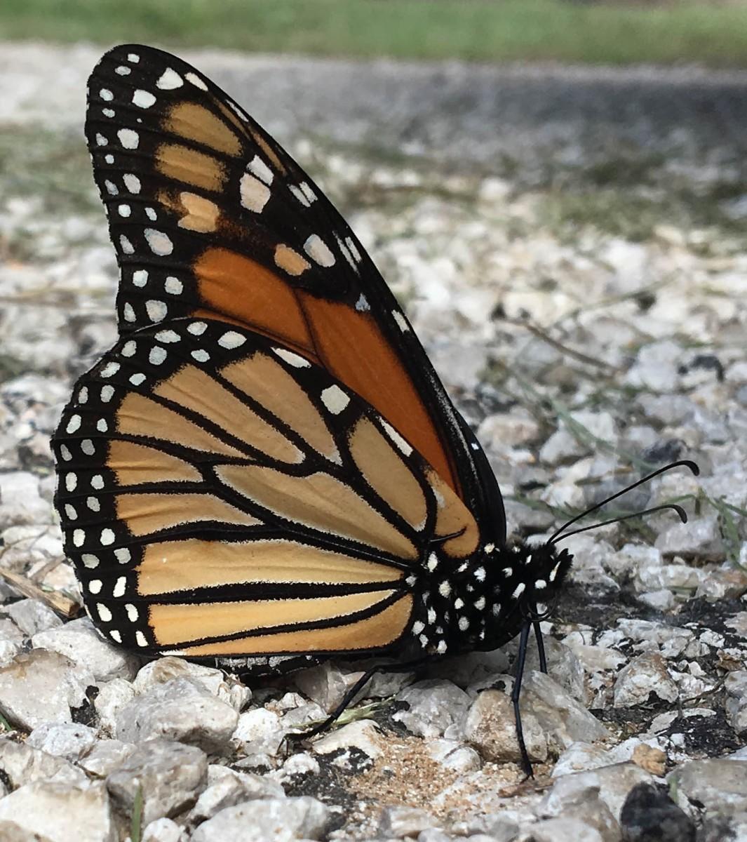 Monarch Butterfly in Lake Arrowhead State Park