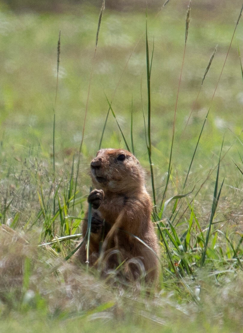 Prairie Dog Eating Grass And Watching Me
