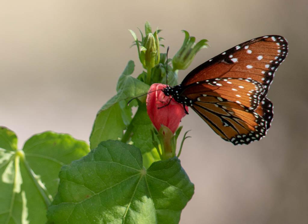 Butterfly on Native Turks Cap Wildflower