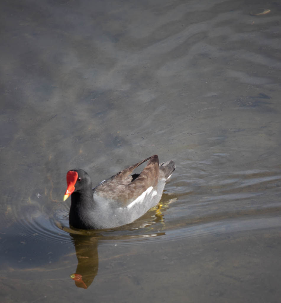 Red Faced Duck