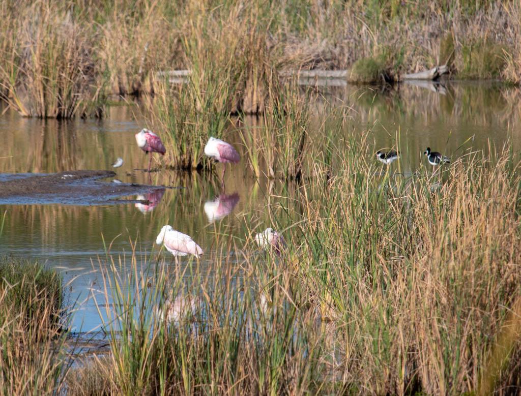Roseate Spoonbills at Rest
