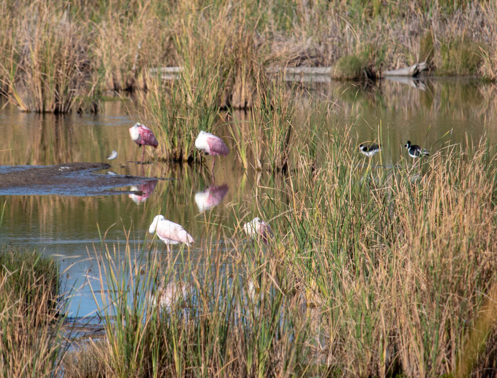Roseate Spoonbills at Rest