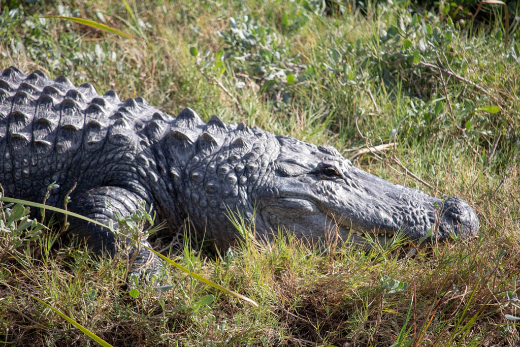 Surely Looking Alligator
