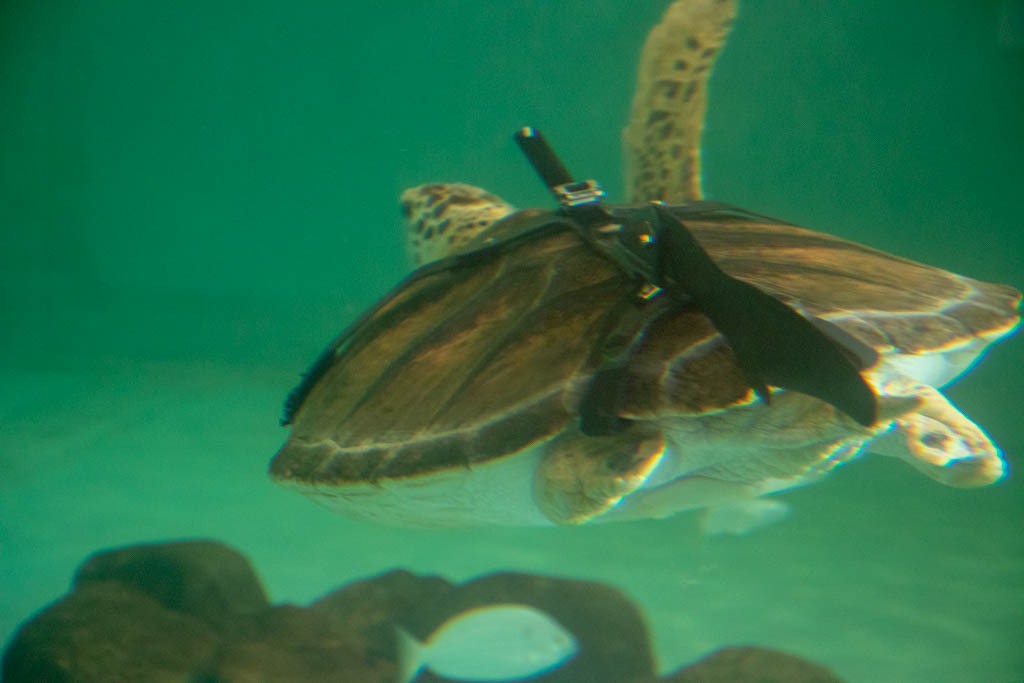 Legless Turtles Prosthetic Device For Swimming