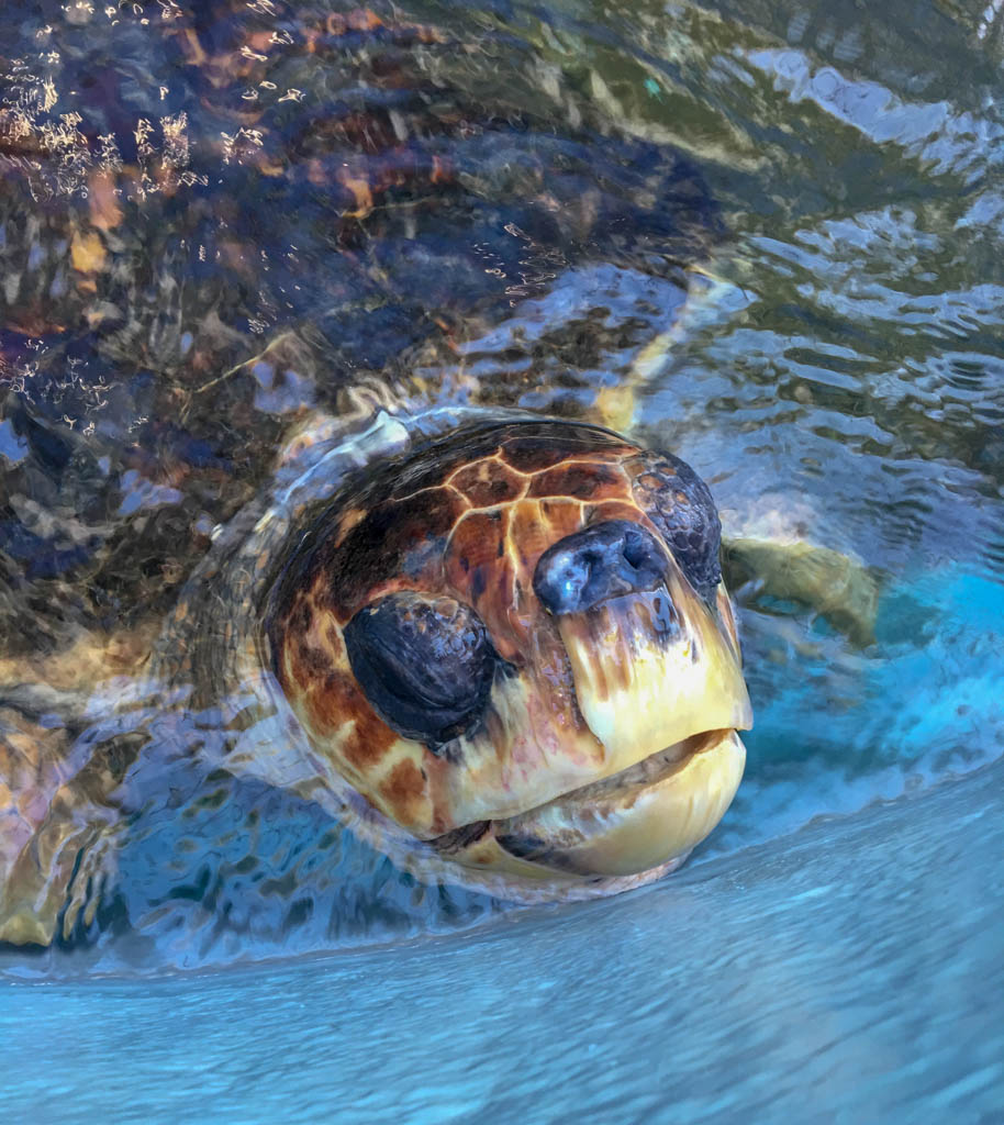 Disabled (Blind) Sea Turtle