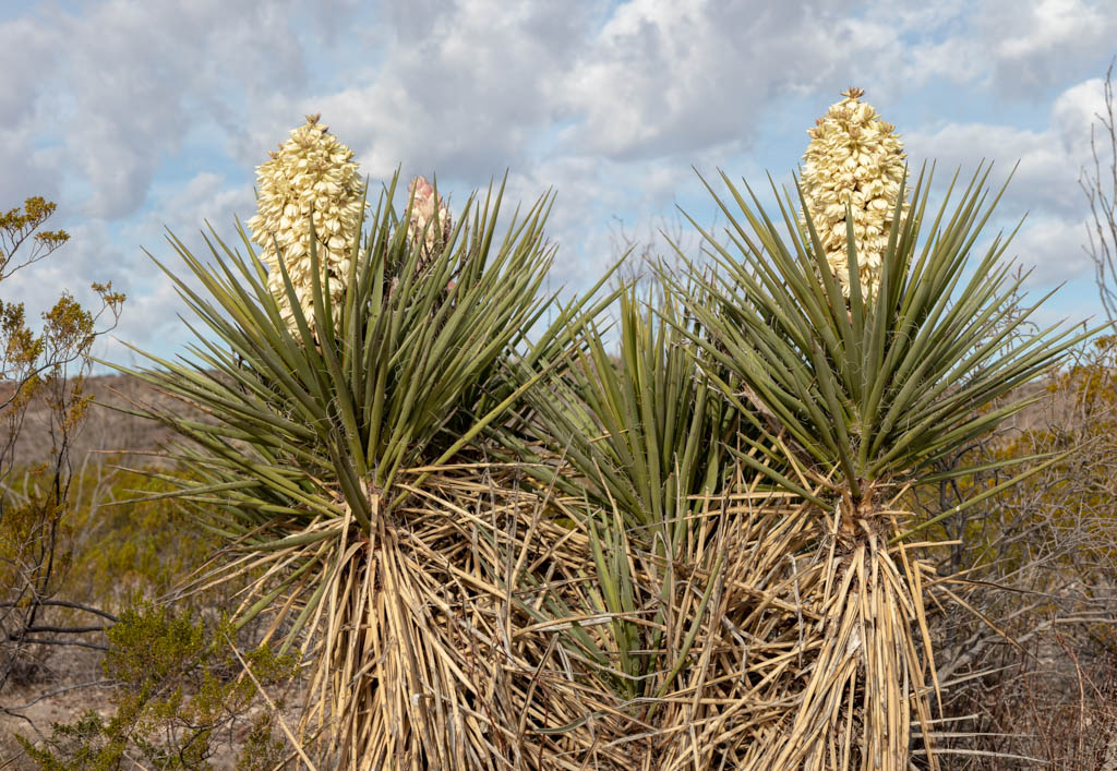 February Yucca Blooms