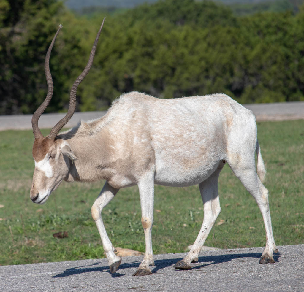 Crafty Old Addax