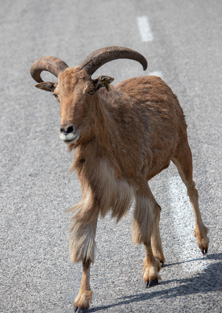 Aoudad Blocks The Road
