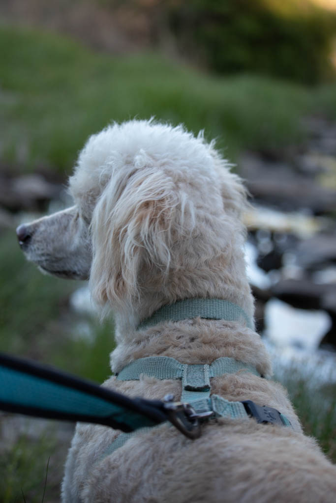 Benji Contemplates Stream Crossing