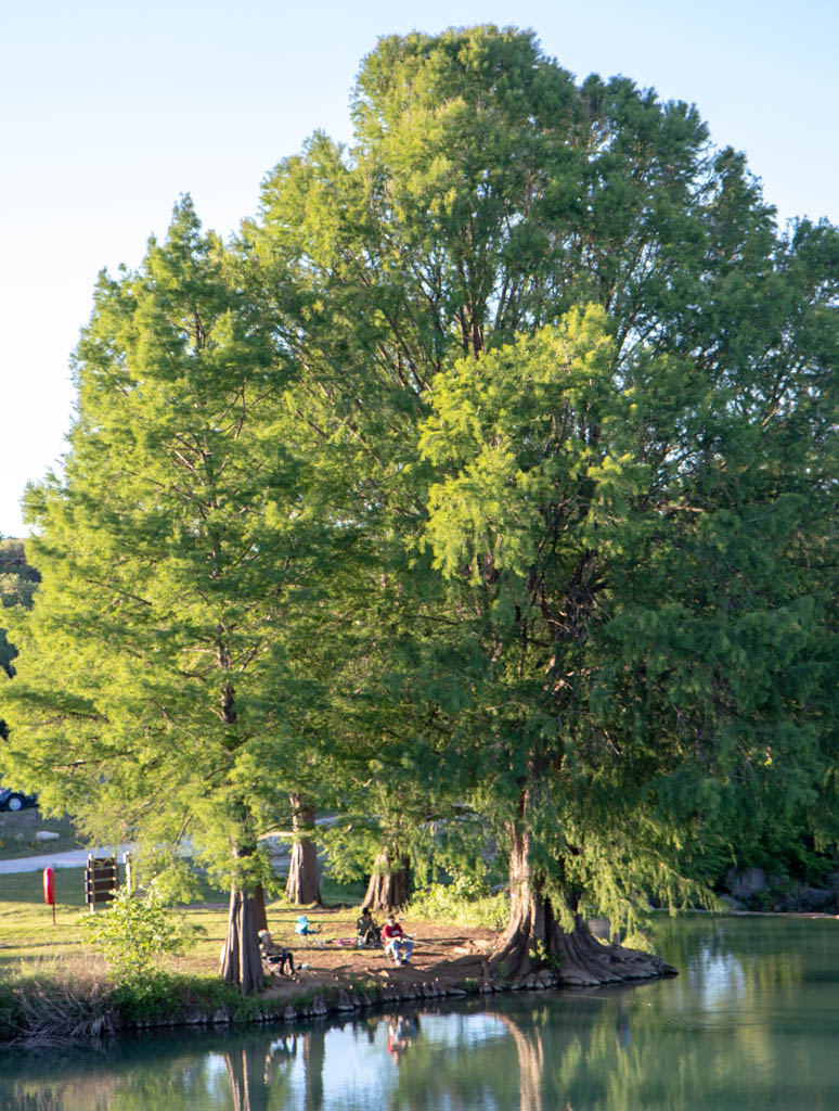 Fishing Under Cypress Tree On The Blanco River