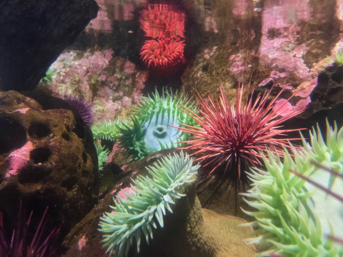 Intertidal Zone - Anemones and Sea Urchins