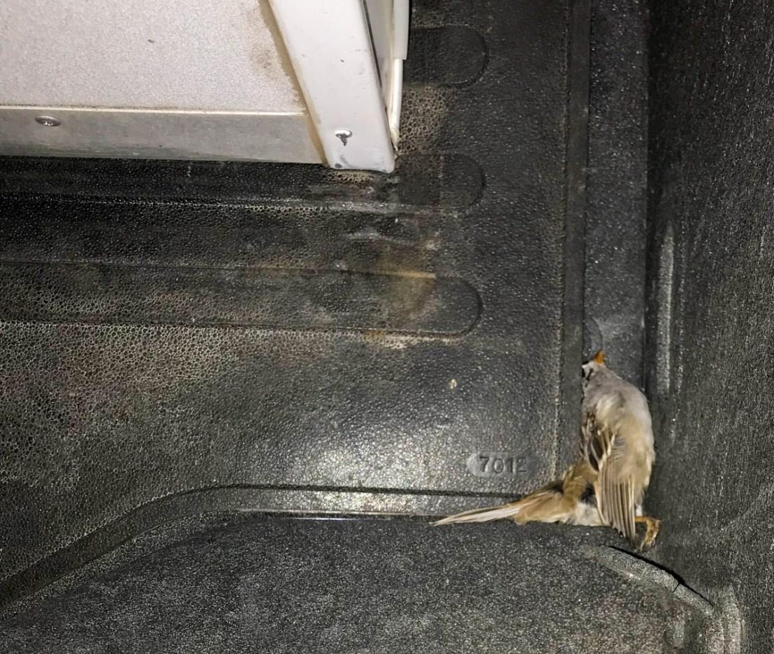 Dead Songbird In Truck Bed Between Camper and Cab