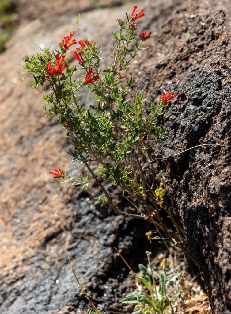 Boulder Field Wildflowers