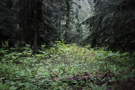 green undergrowth in washington's rainforest
