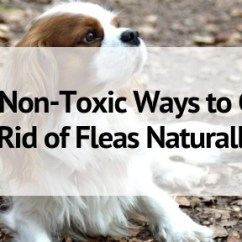 Fleas In Sofa No Pets Lancaster Leather Reviews 9 Non Toxic Ways To Get Rid Of Naturally