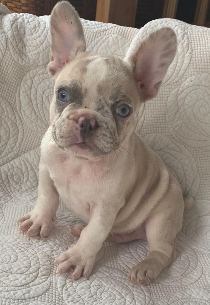 Oscar Lilac Merle French Bulldog Male - The French Bulldog
