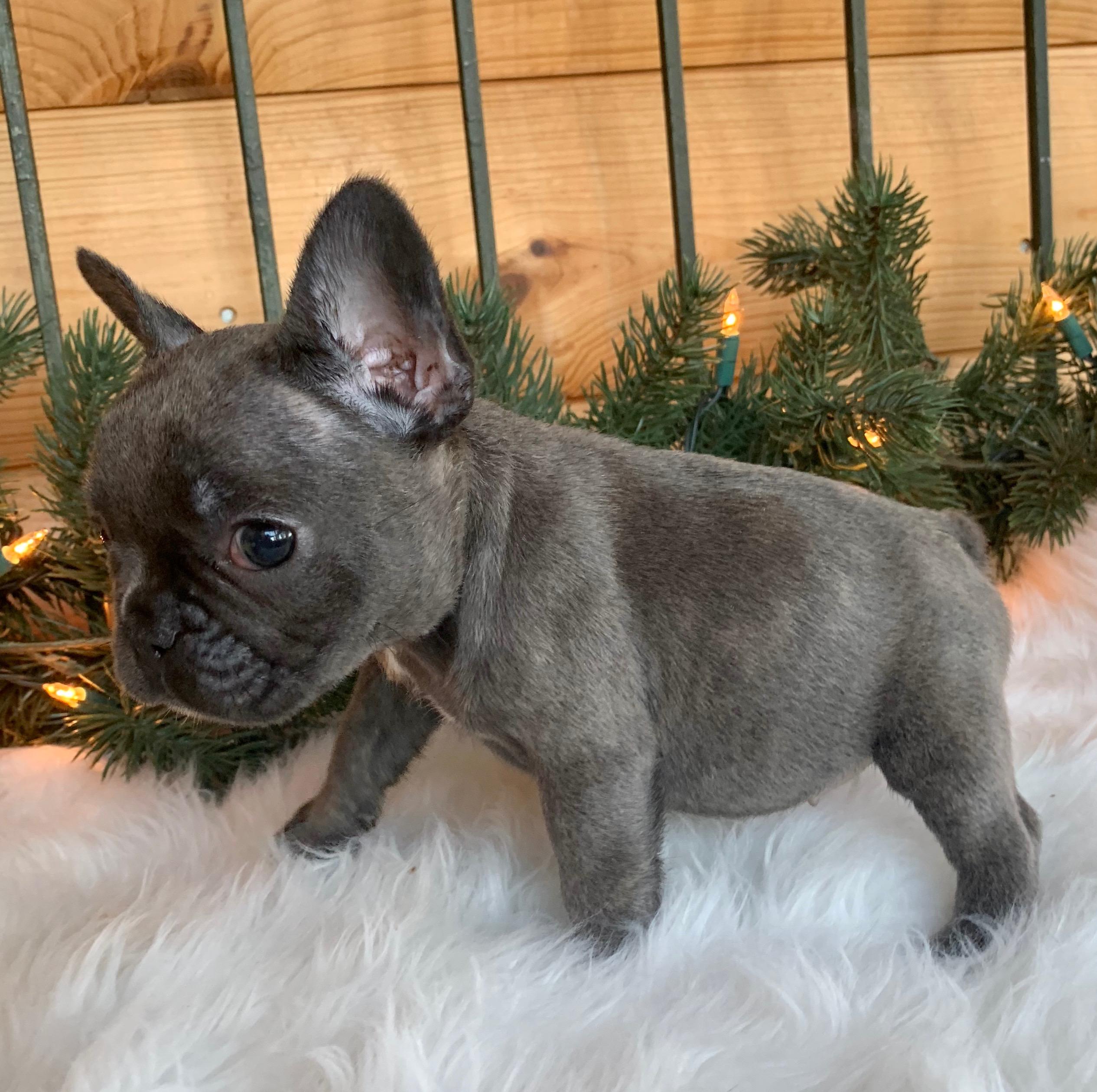 Rylee Blue French Bulldog Female