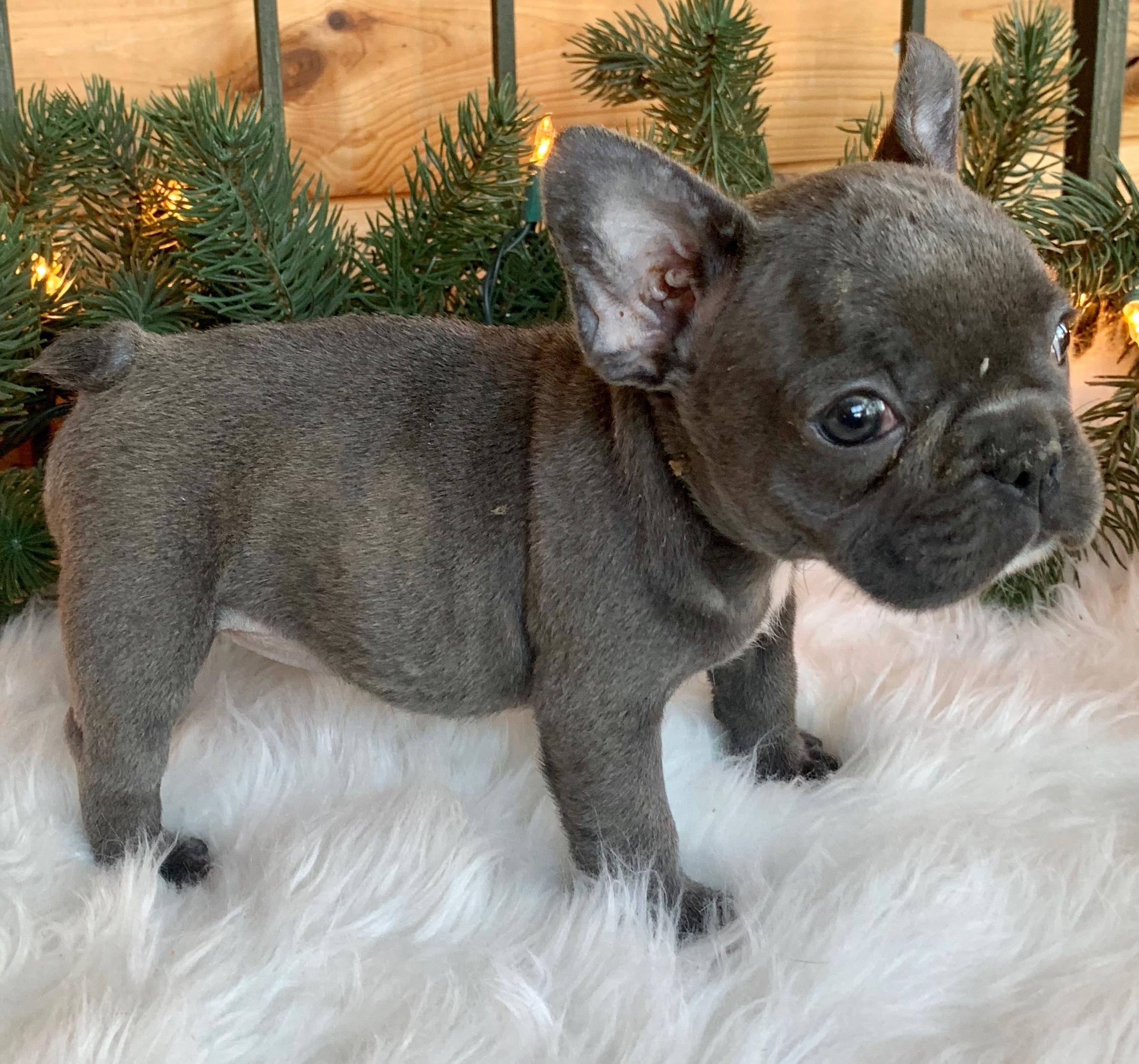 Blue French Bulldog Female: Rita