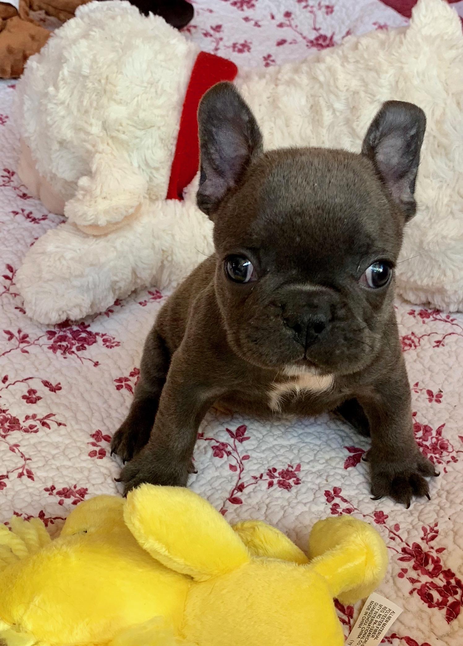 Blue Female French Bulldog: Roxanne