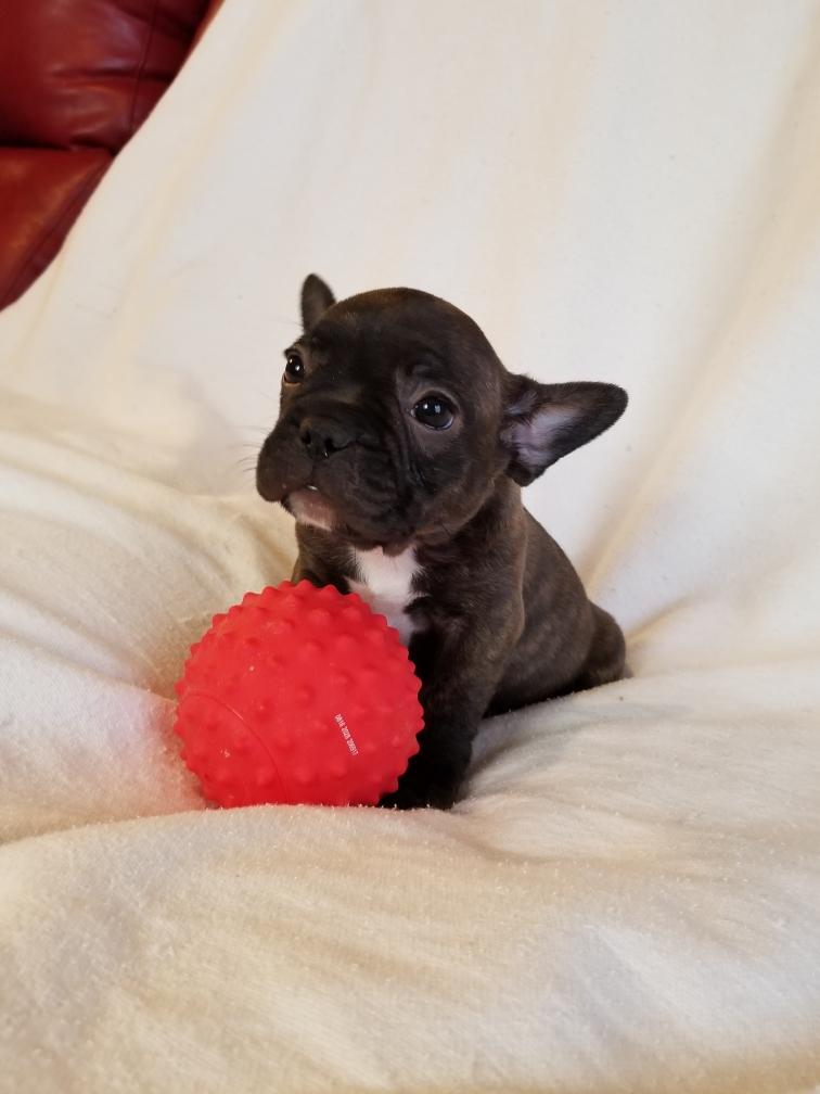 Brindle Female French Bulldog: Allie