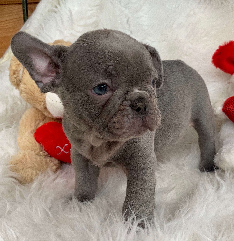 Lilac Male French Bulldog: Graham