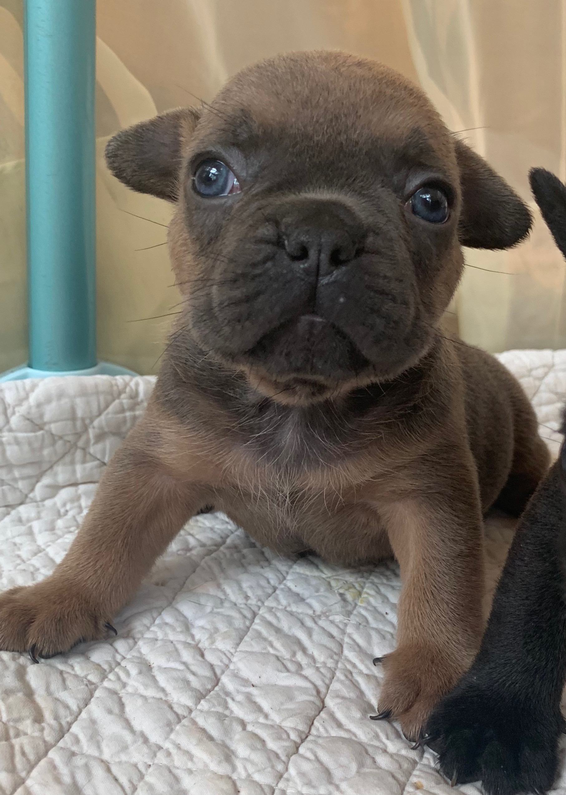 Blue Male French Bulldog: Pace