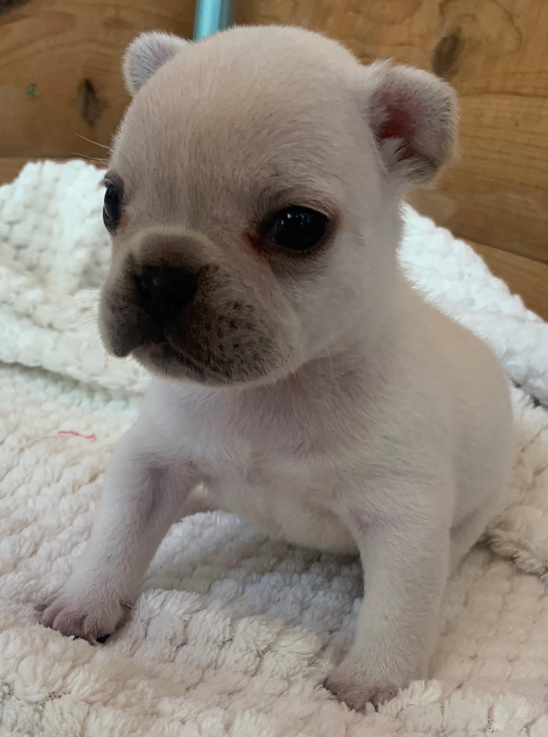 Cream Male French Bulldog: Vaughn