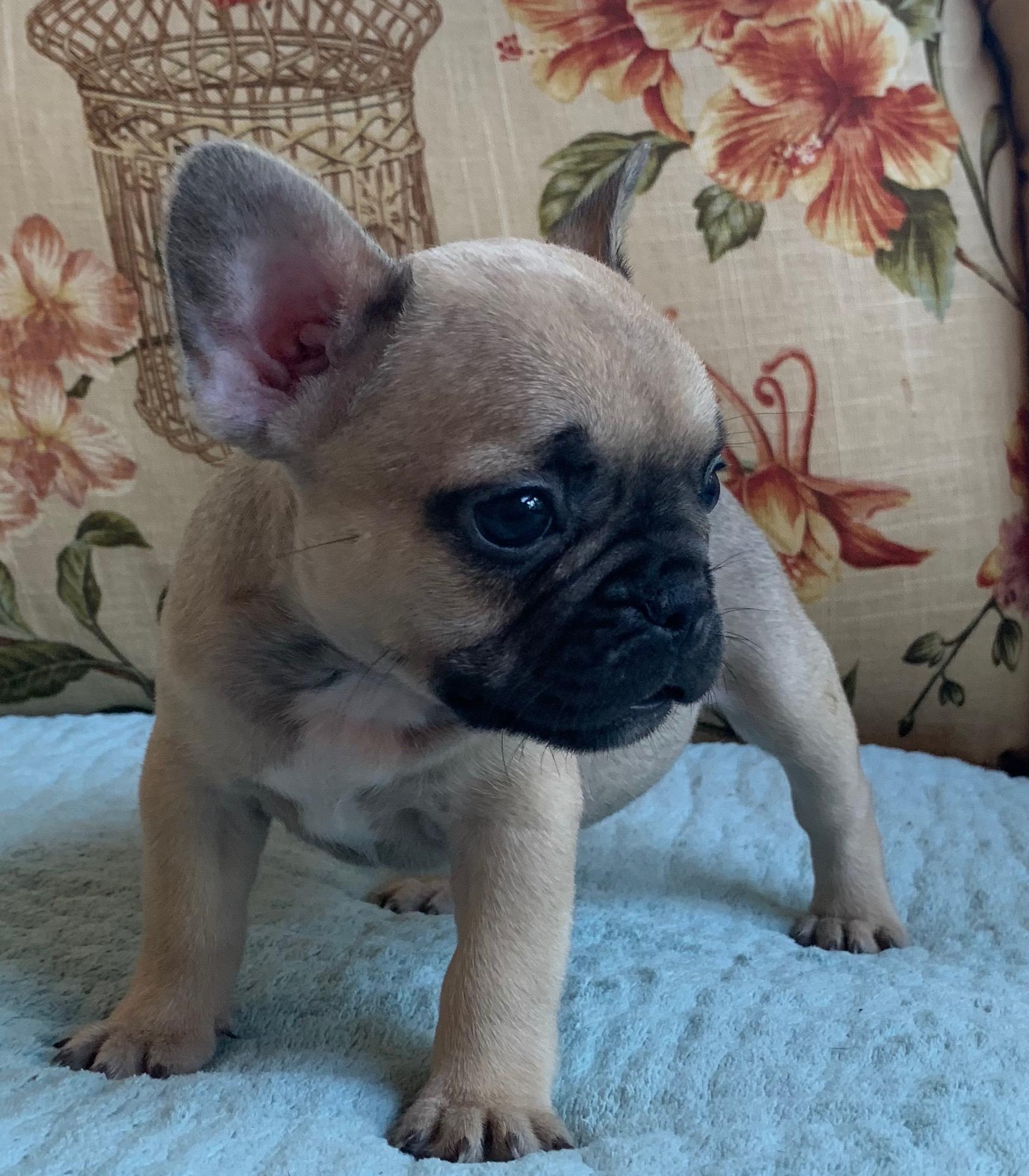 Fawn Female French Bulldog: Penelope