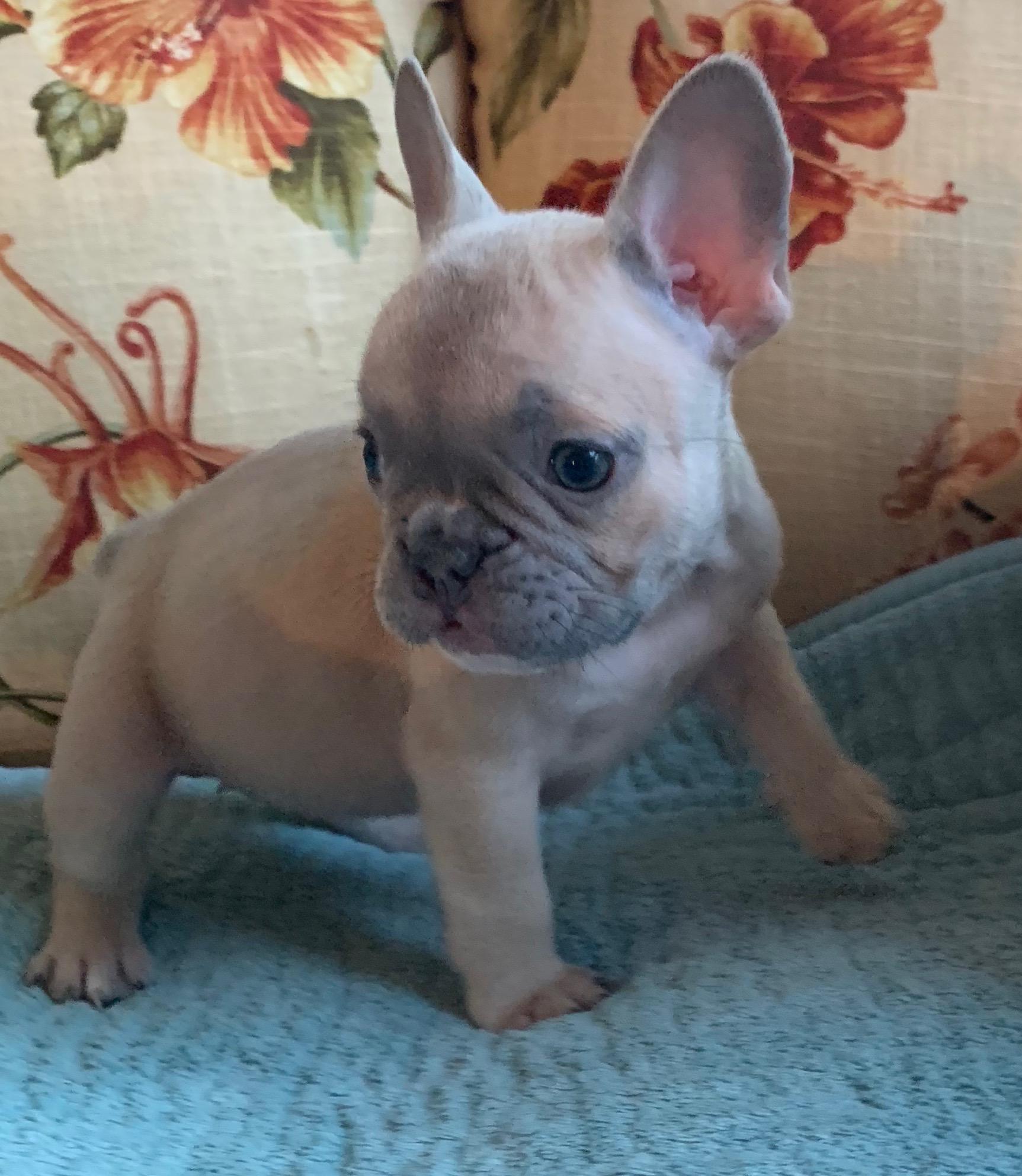 Lilac Fawn Female French Bulldog: Olivia