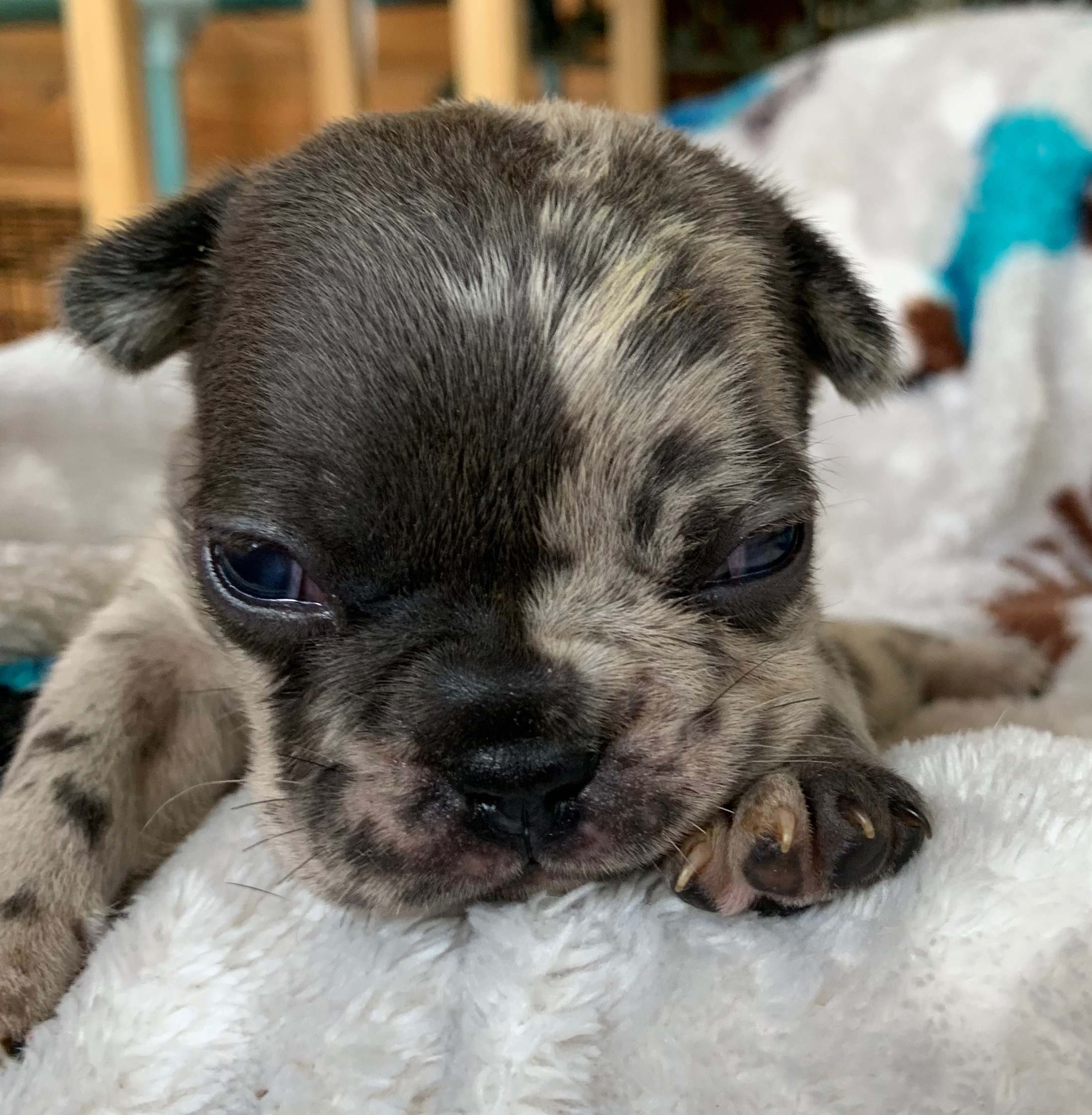Blue and Merle French Bulldog Upcoming Litter