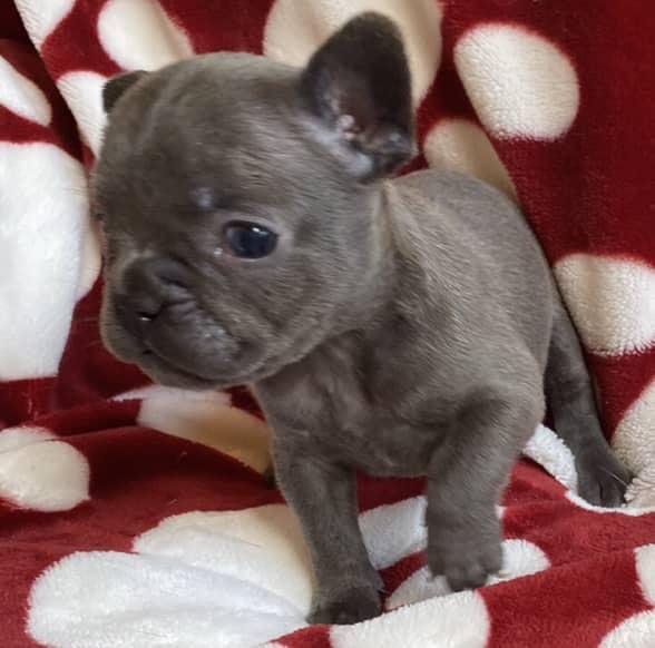 Blue Female French Bulldog: Umi