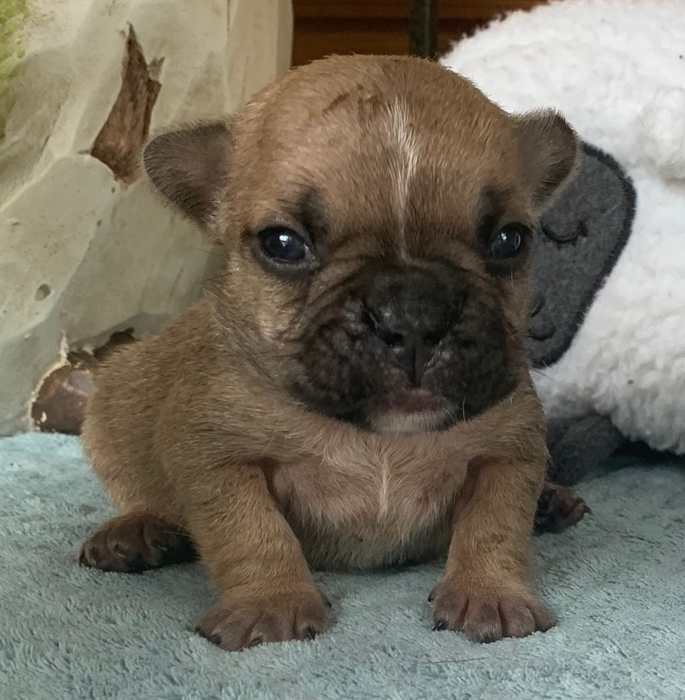 Upcoming Champion Sired French Bulldogs Litter: 6/13/20