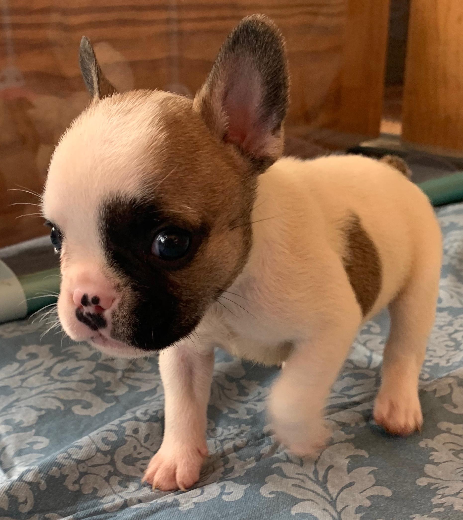 Fawn Pied French Bulldog Male: Barrett