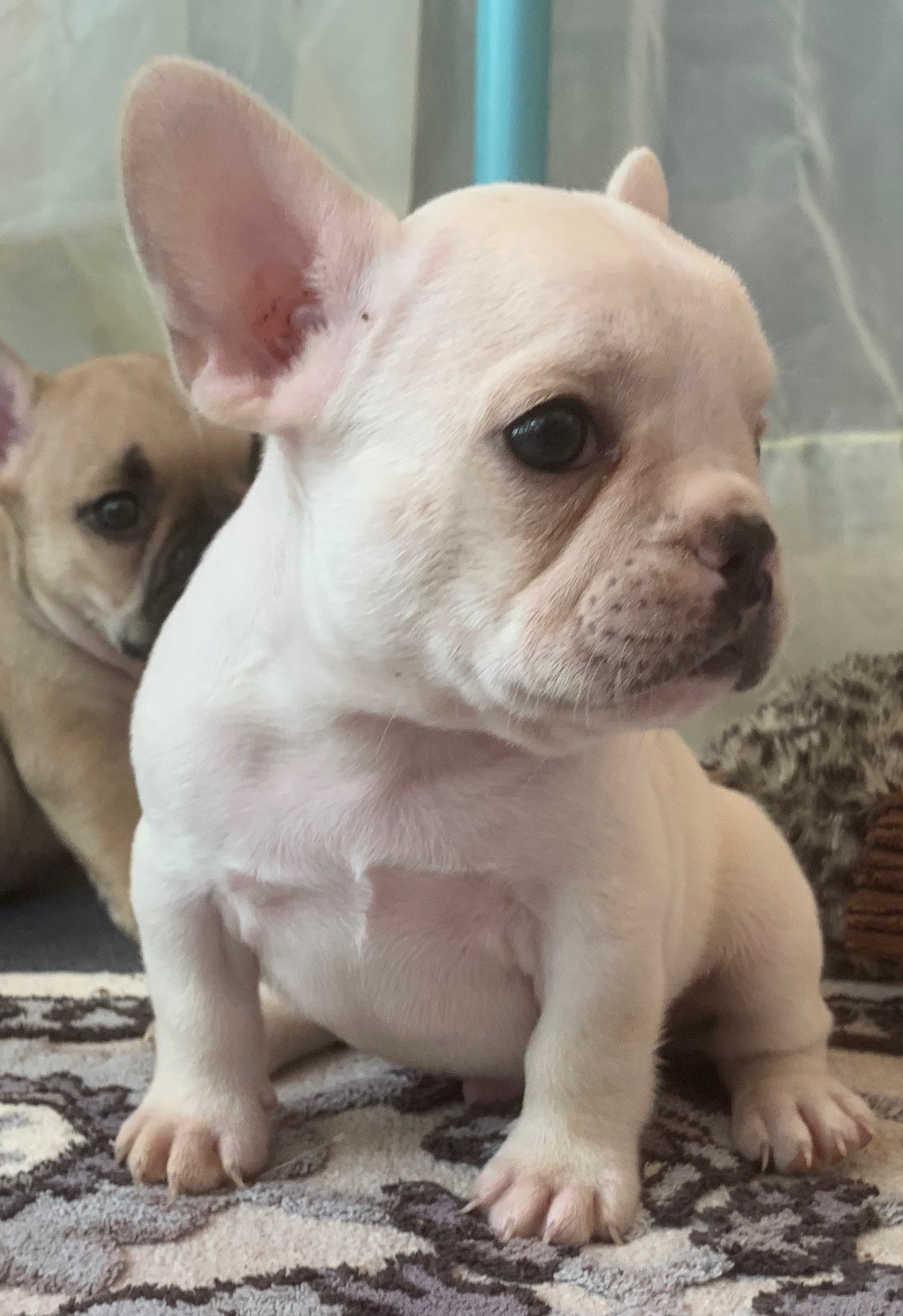 Cream Male French Bulldog: Brody