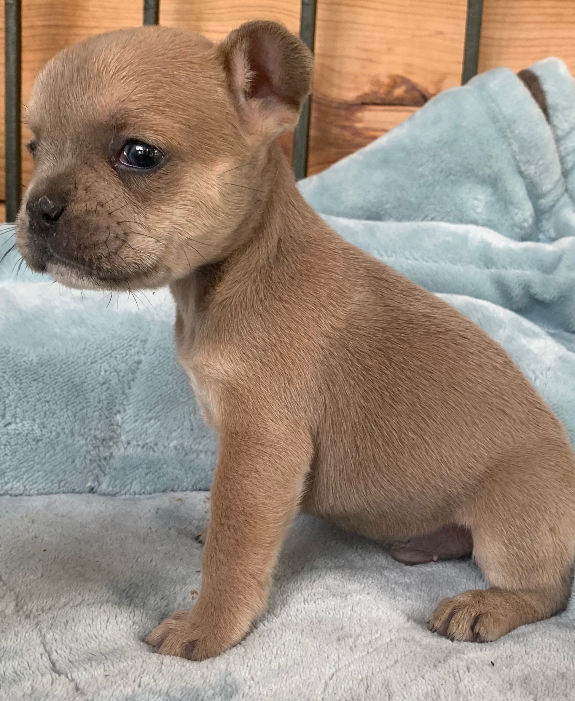 Blue Fawn with Tan Points Male French Bulldog: Zues