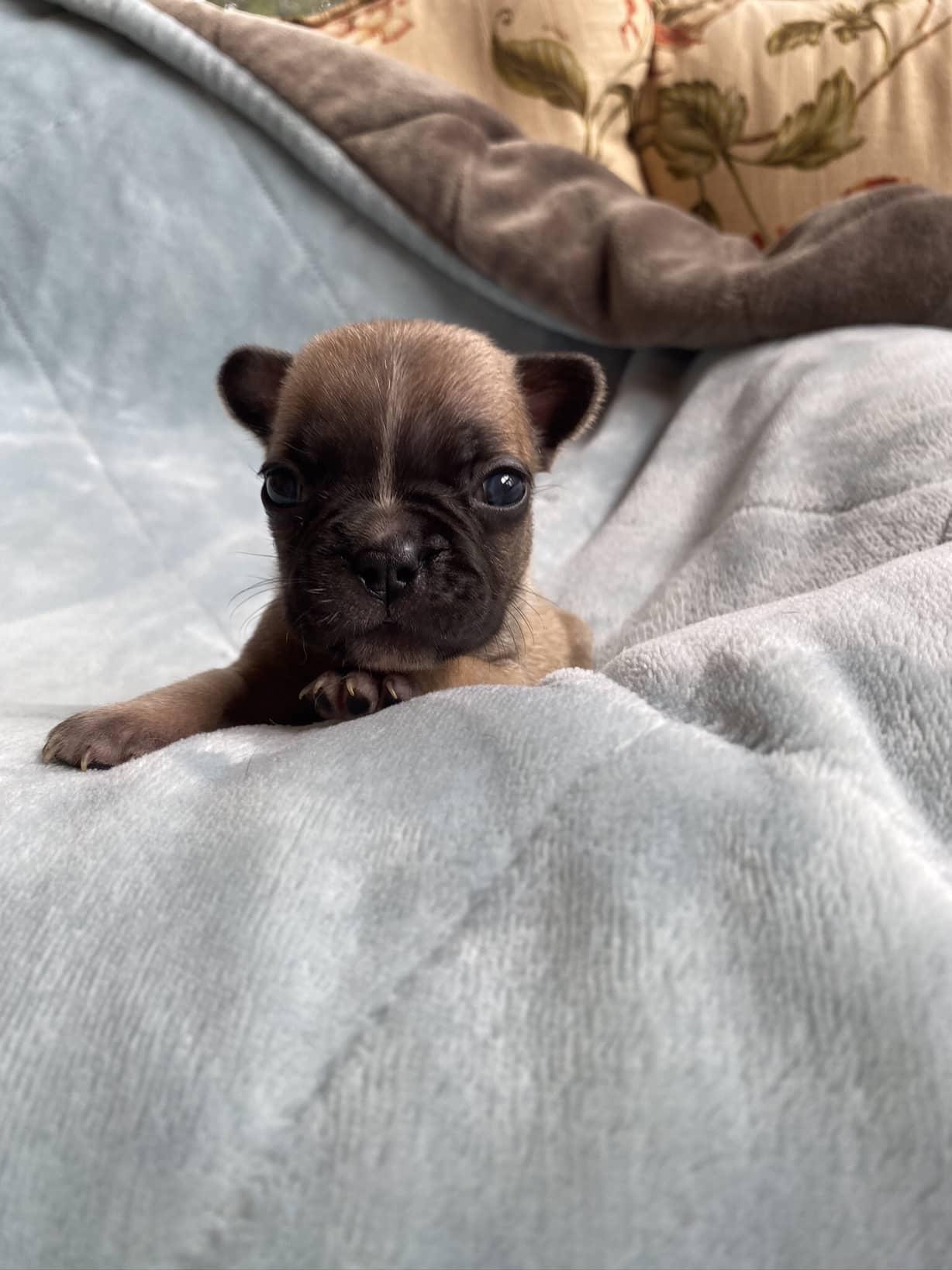 Fawn Male French Bulldog: Damian
