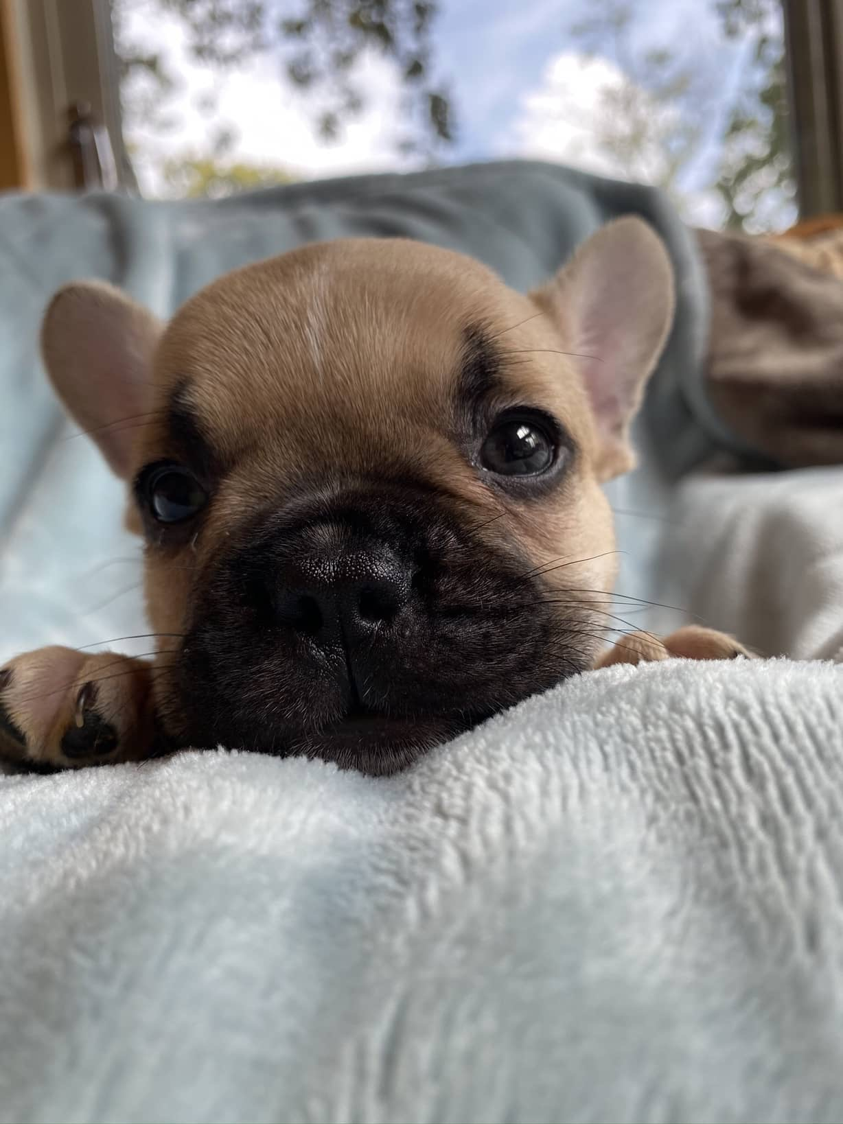 Fawn Male French Bulldog: Bennett