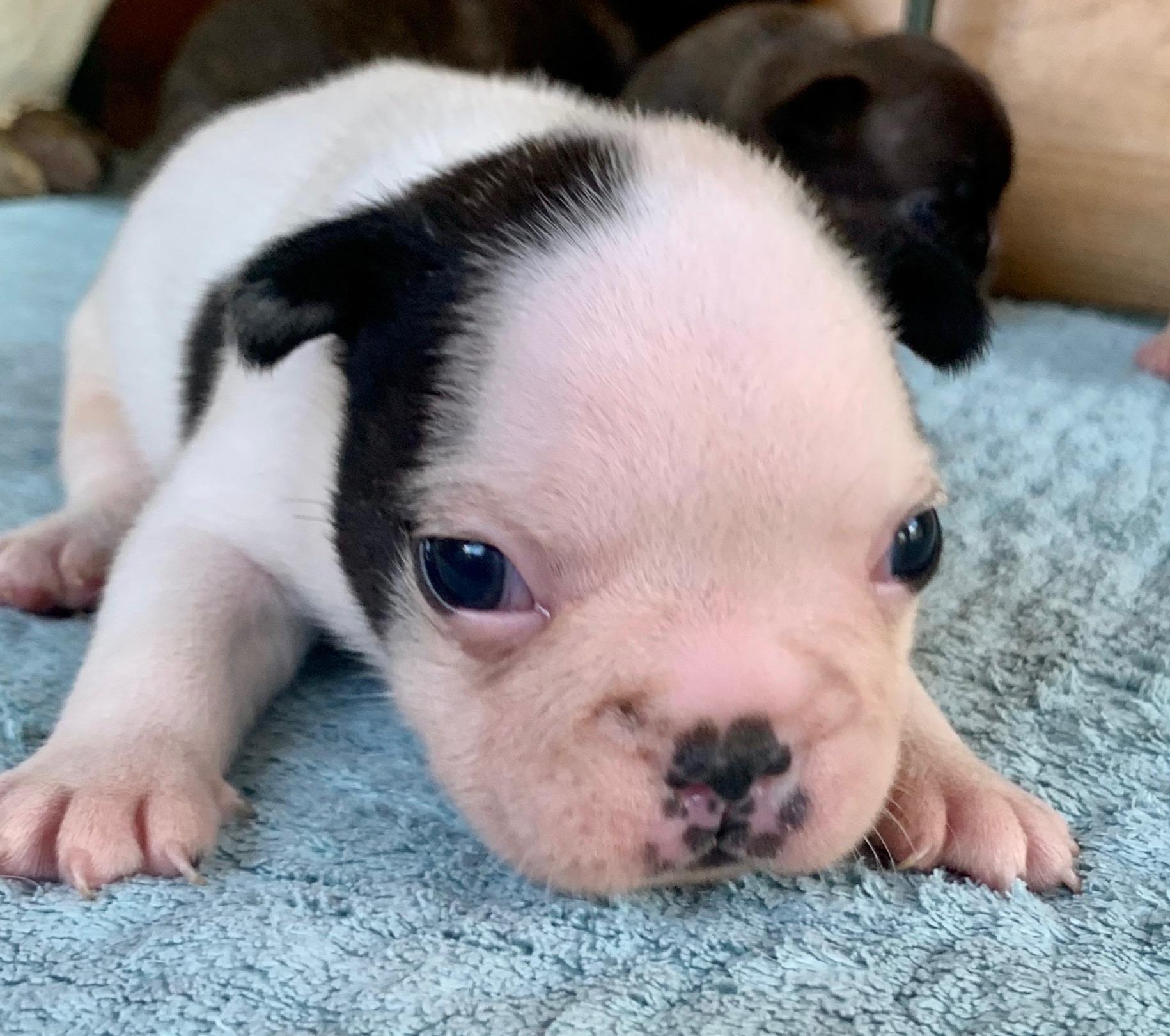 Brindle Pied Male French Bulldog: Nugget-5224