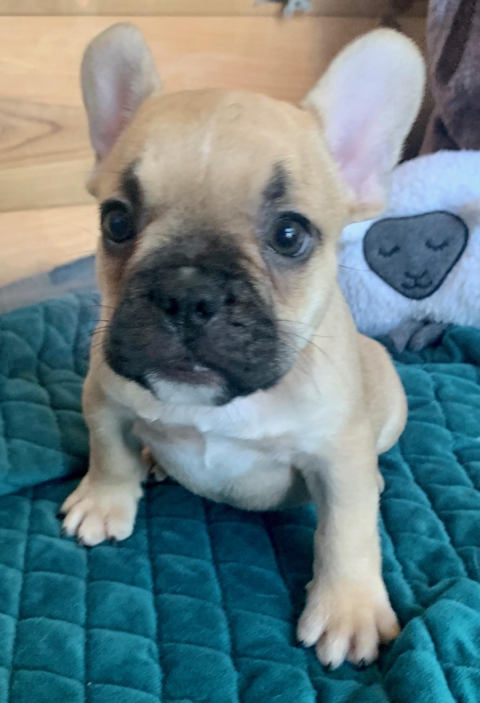 Fawn French Bulldog Male: Bennet