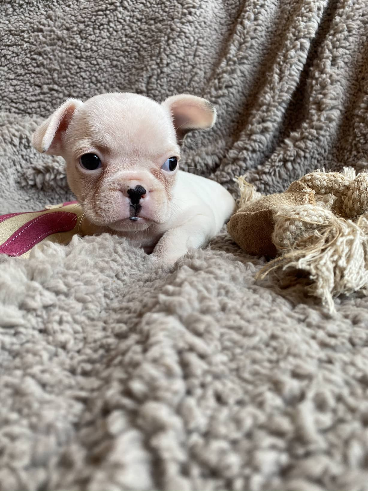 White Female French Bulldog: Dori