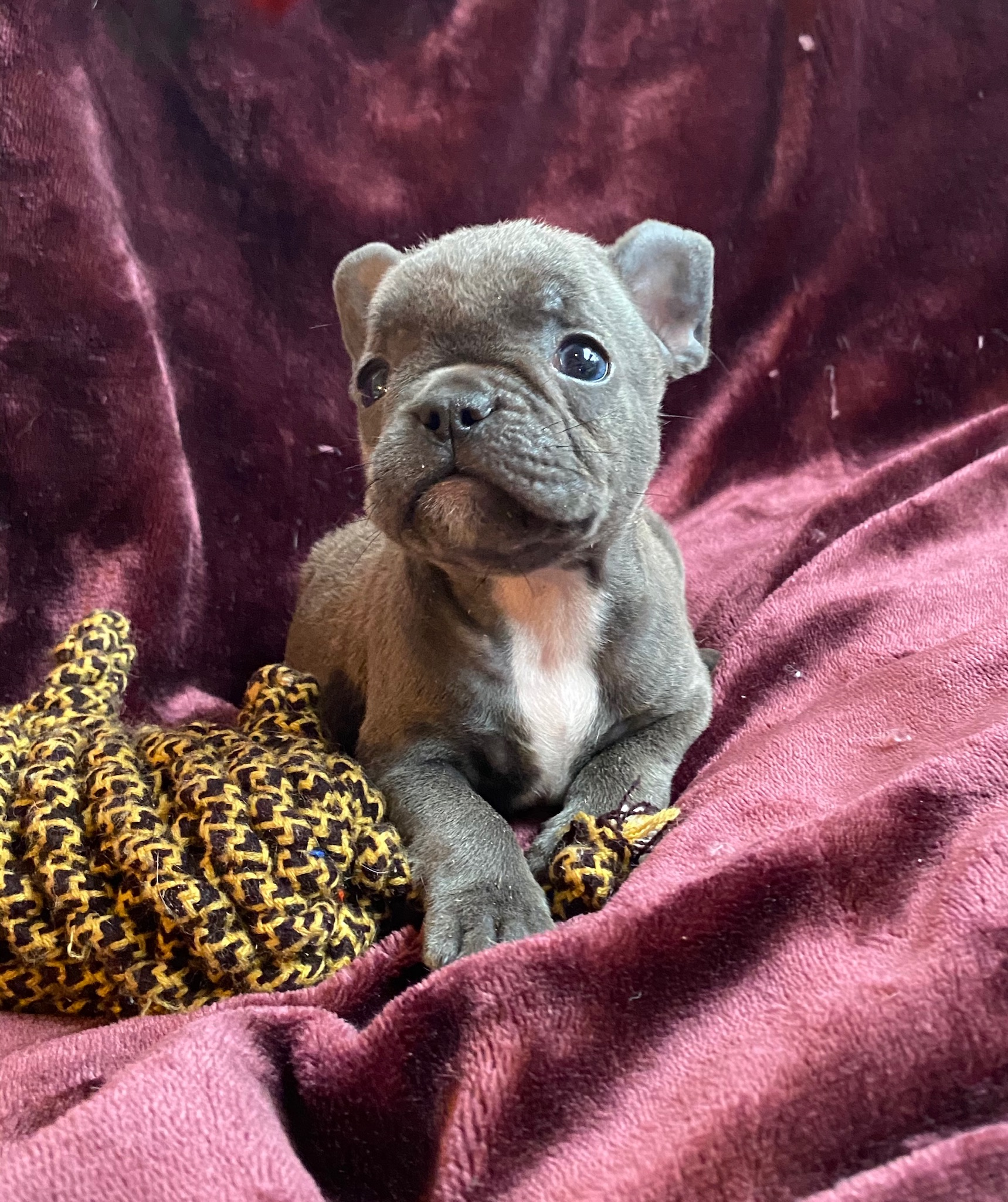 Blue and Merle French Bulldog Litter: July 22, 2020-SOLD