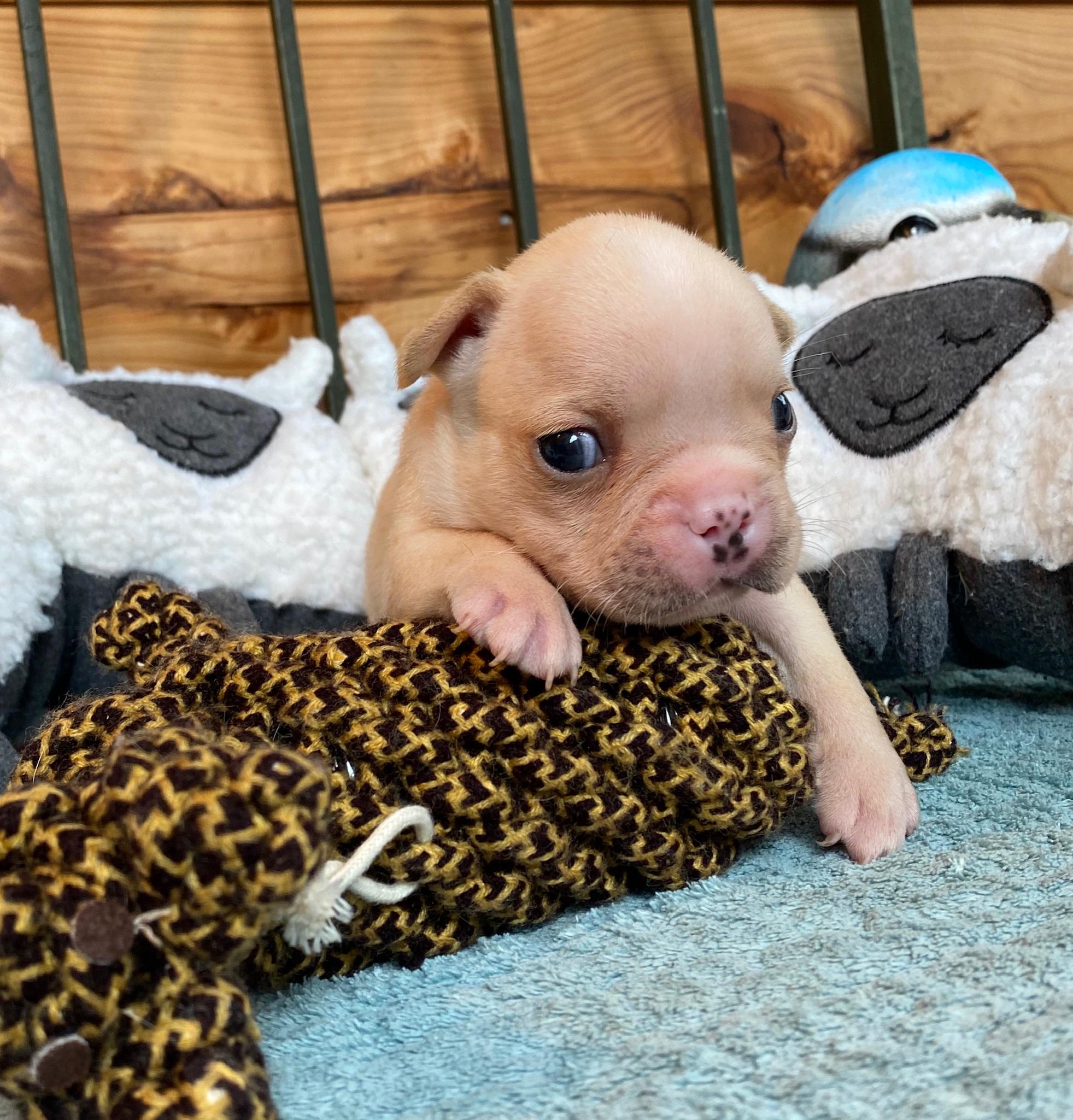 Cream male French Bulldog Nacho:2751