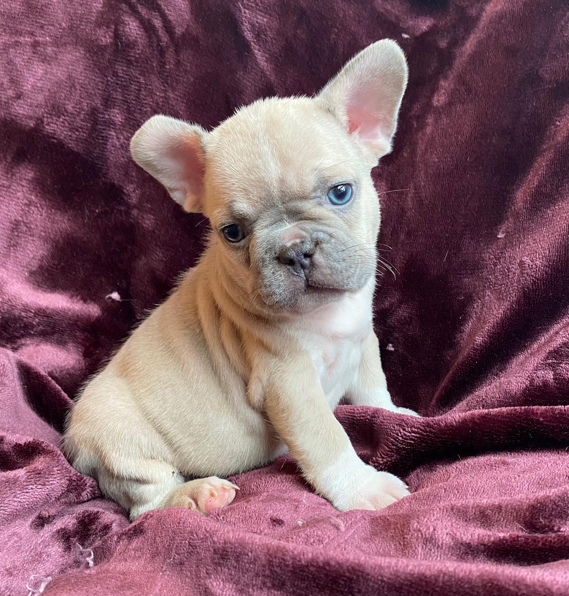 Lilac Fawn Female French Bulldog: Imagine-3238