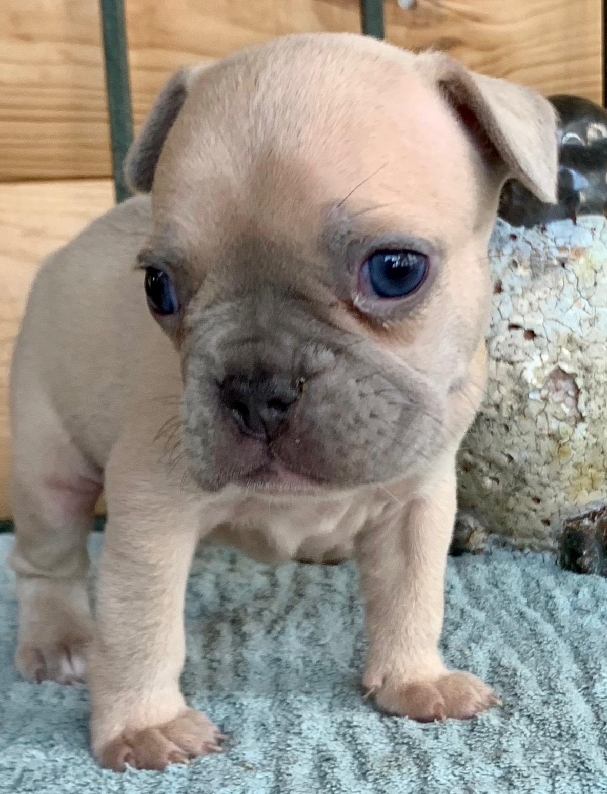 Lilac Fawn Male French Bulldog: Snickers- 4888- Sold