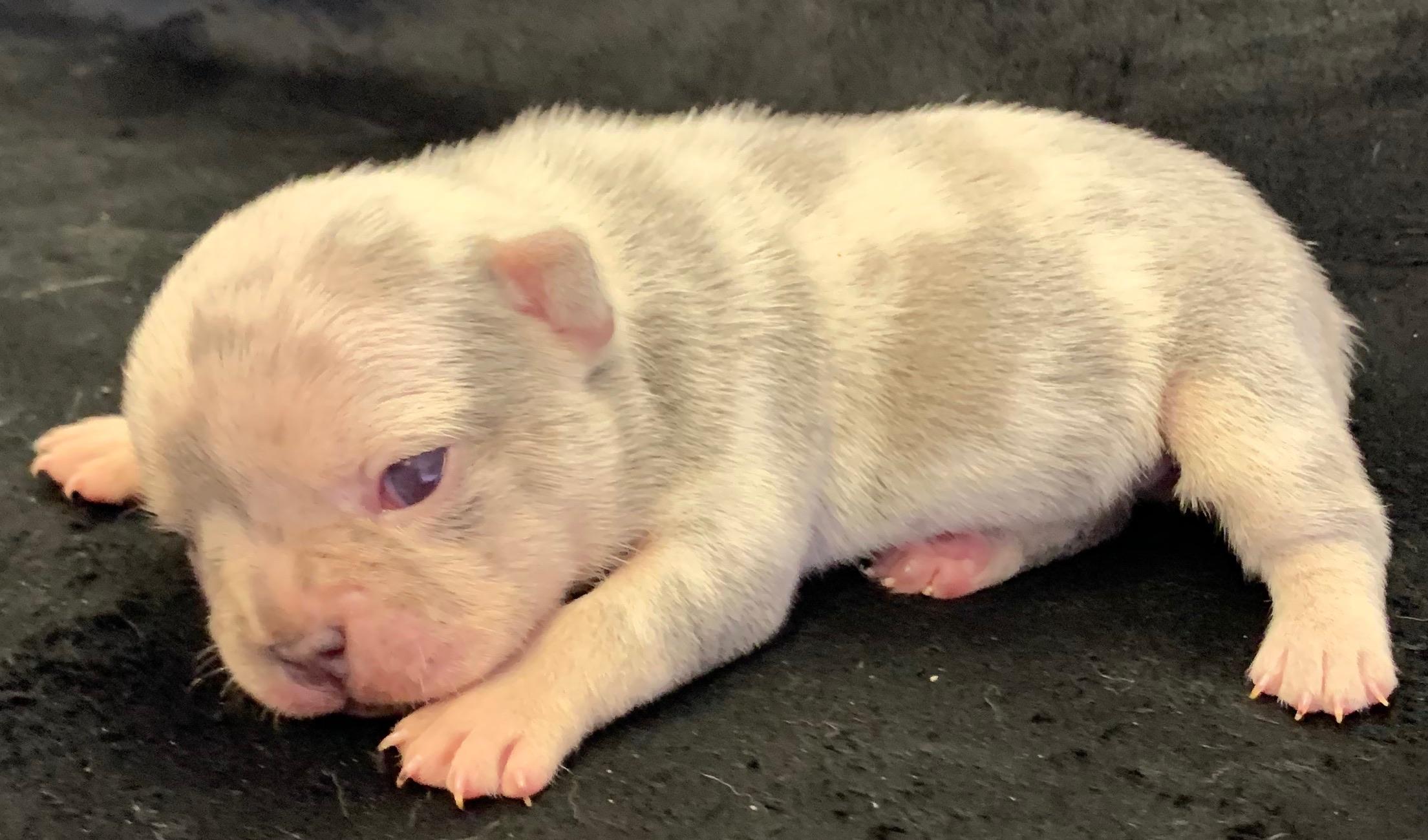 Lilac Merle Female French Bulldog: Wynonna- 4737- Sold