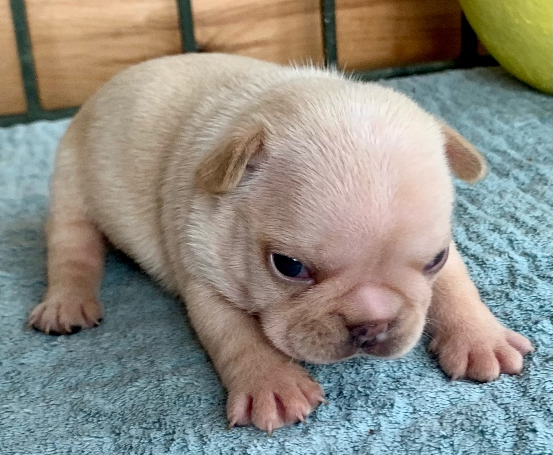Cream Male French Bulldog: York- 4400