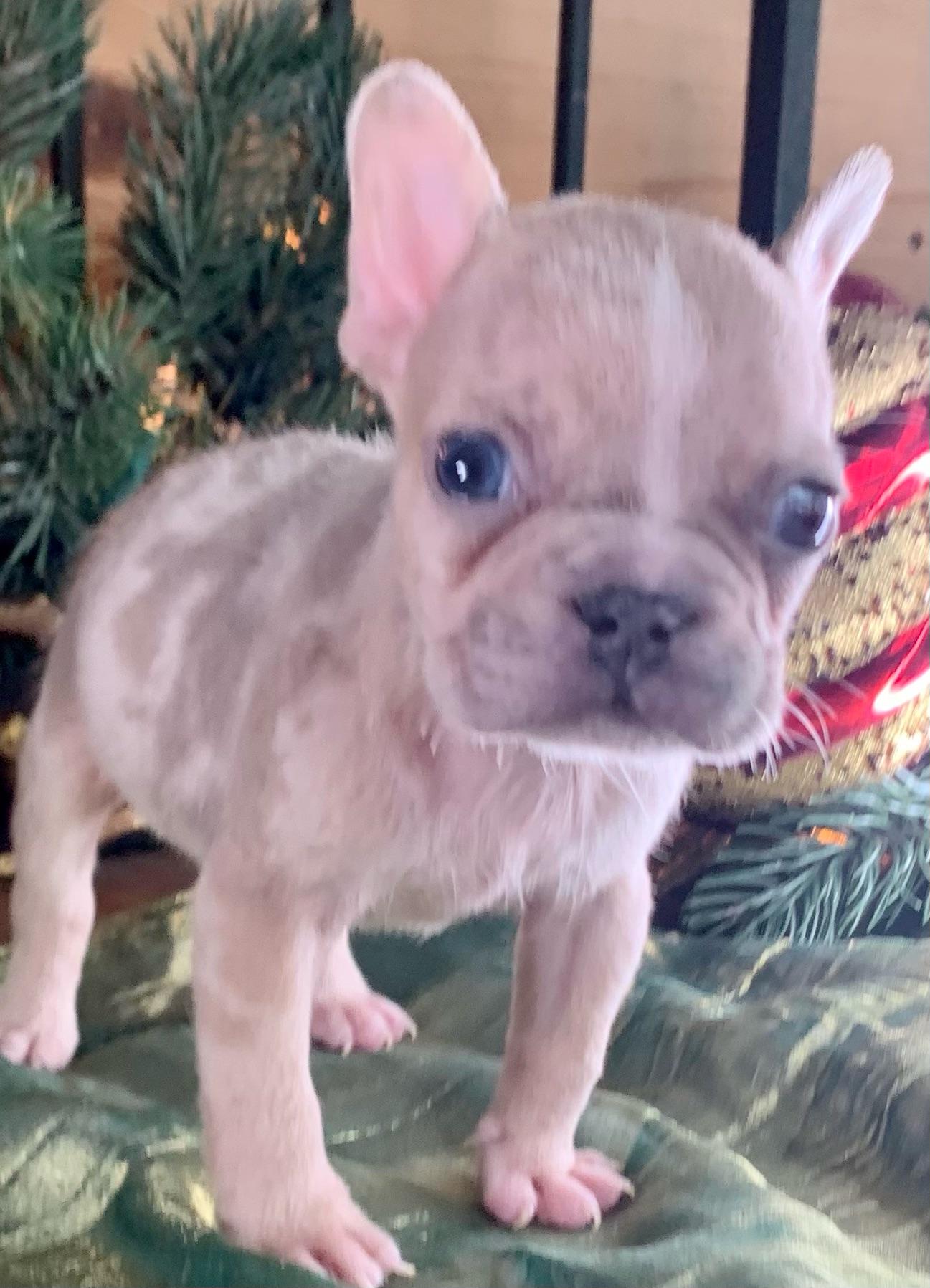 Lilac Fawn Merle Male French Bulldog: Titan