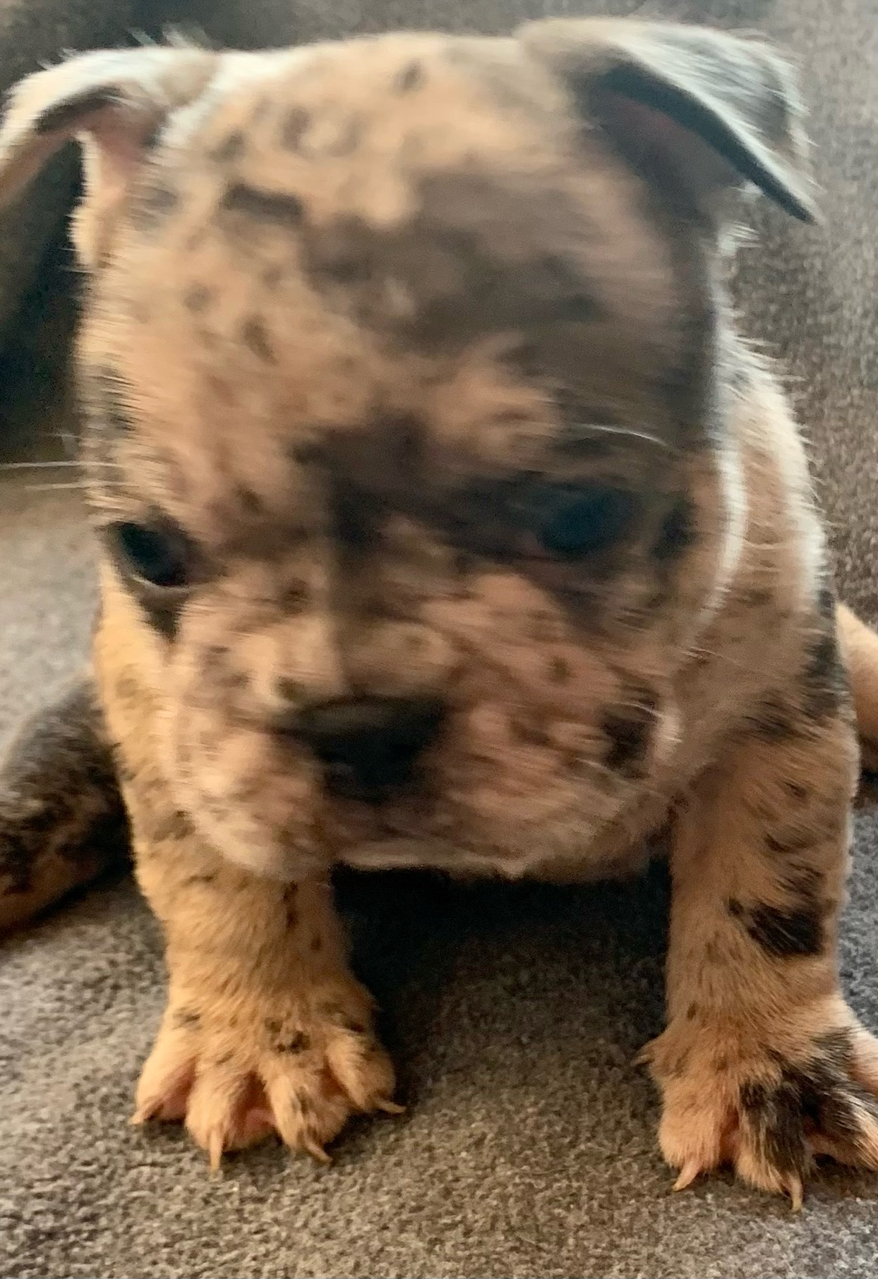 Merle Male French Bulldog: Champ-2455-Sold