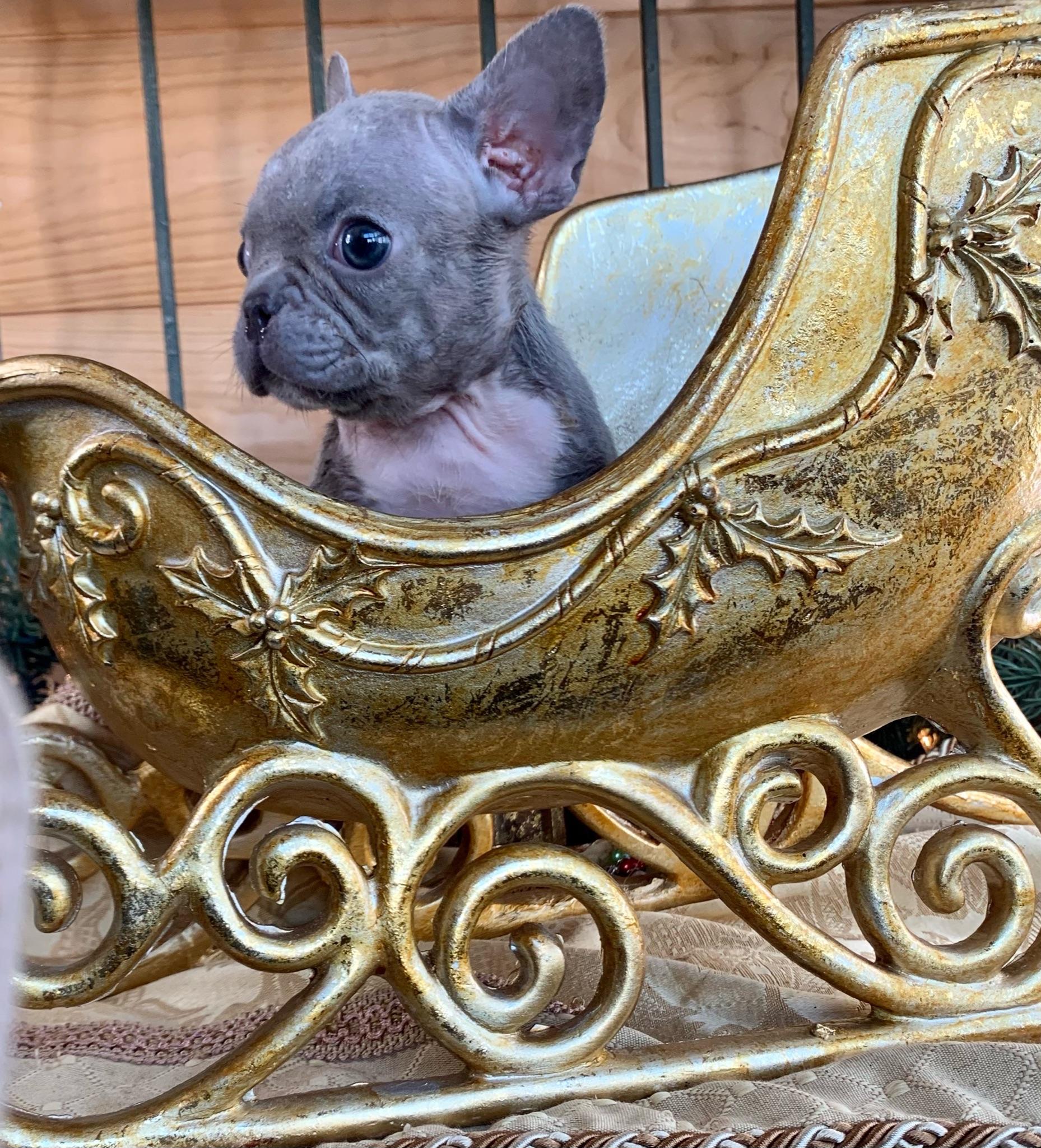 Lilac Female French Bulldog: Treasure-2089