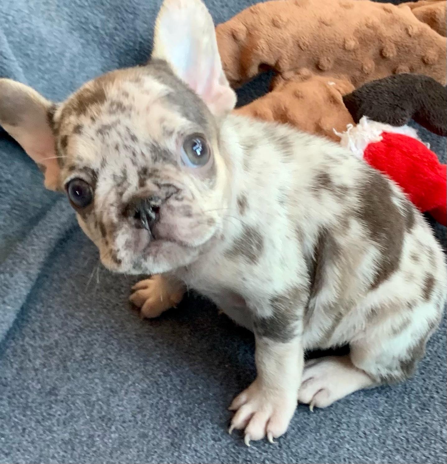 Blue Merle Female French Bulldog: Wendeline- 2832- Sold
